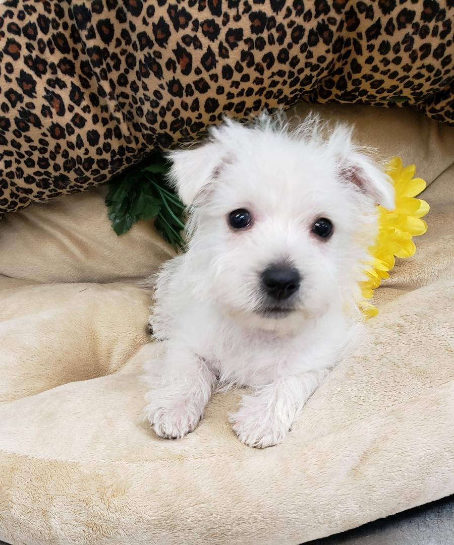 <small><del>West Highland White Terrier</del></small><br />Happy West Highland White Terrier
