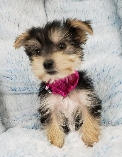 Morkie (Now $1199.00)