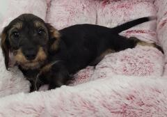 Dachshund mix