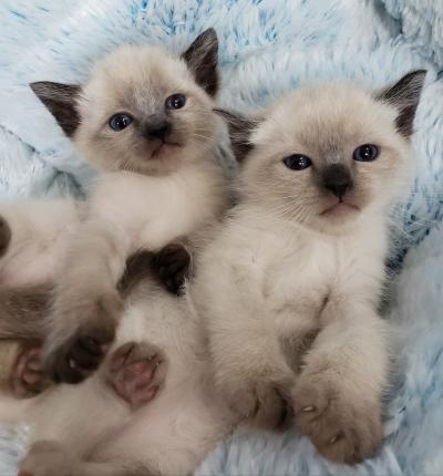 Himalayan mix Kittens