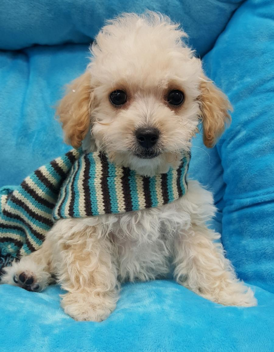 <small><del>Toy Poodle</del></small><br />Happy Toy Poodle