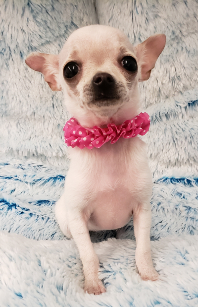 Teacup Chihuahua (Now $1999.00)