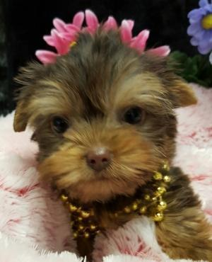 Chocolate Teacup Yorkshire Terrier