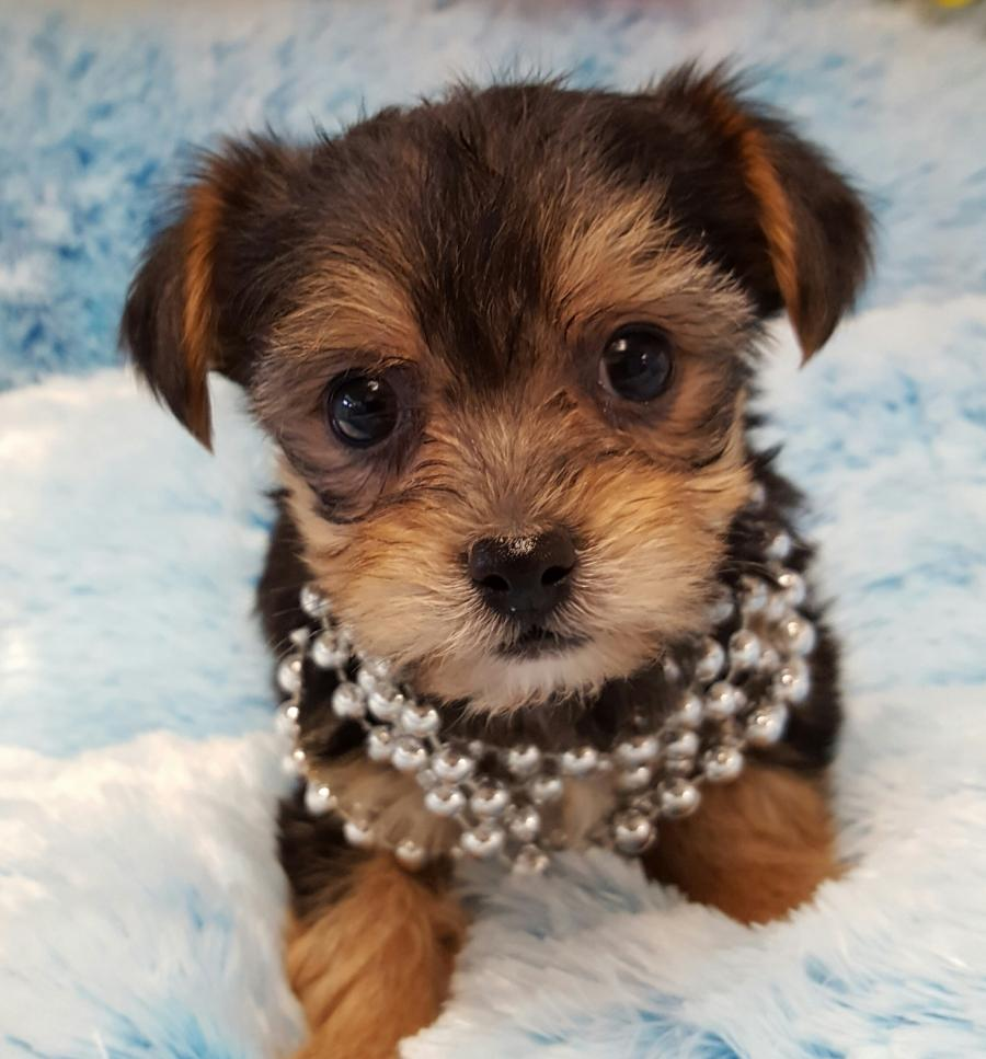 morkie your pet store in newmarket