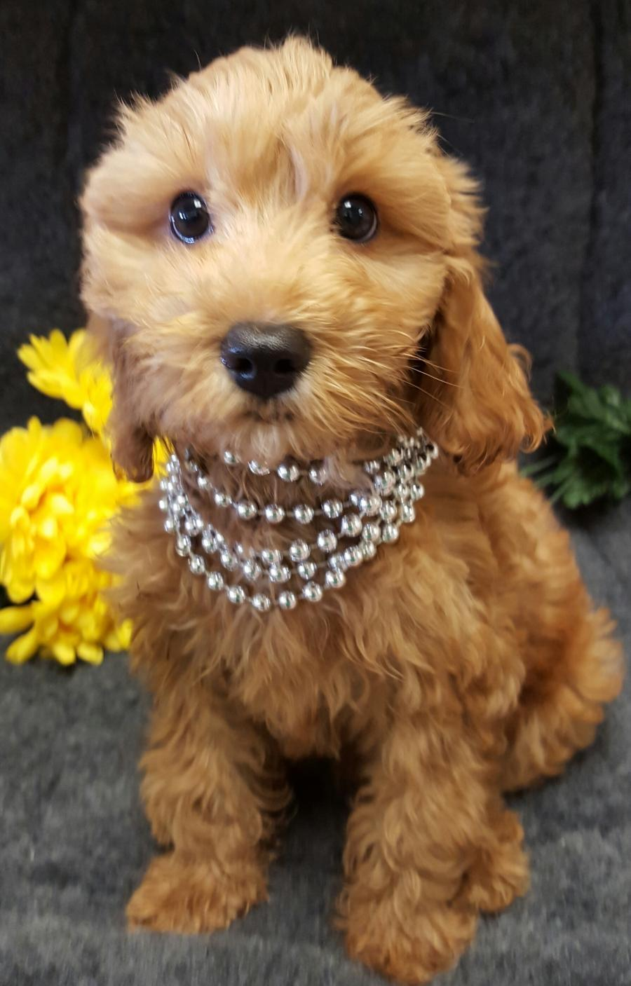 Cockapoo - Your pet store in Newmarket