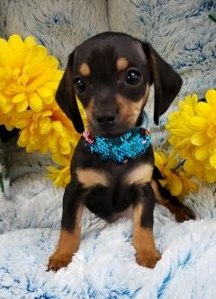 Dachshund and Chihuahua mix