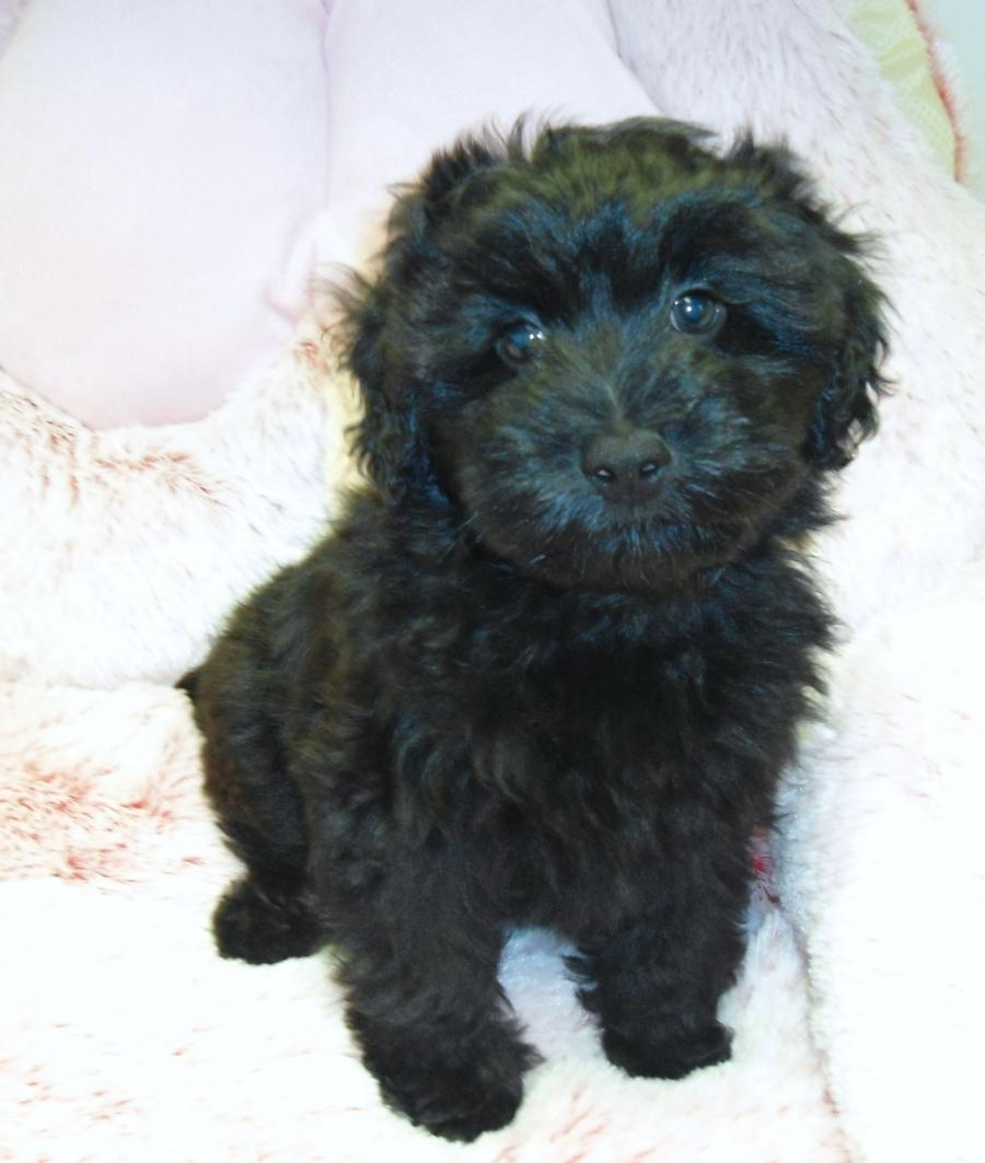 Yorkie Poo Your Pet Store In Newmarket