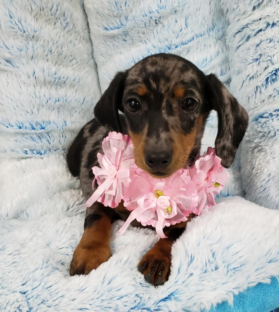 <small><del>Mini Dachshund</del></small><br />Happy Mini Dachshund