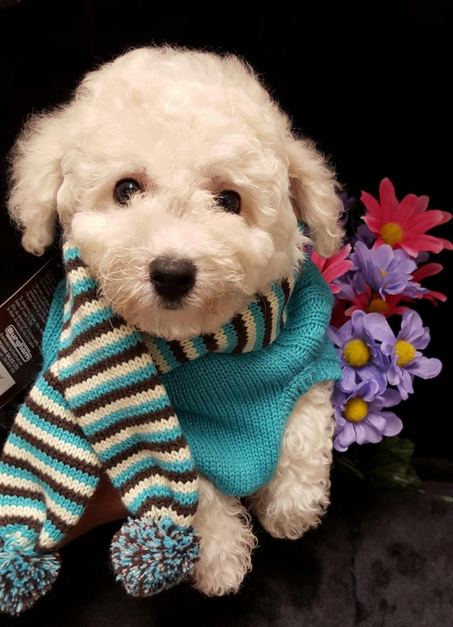 Bichon Frise - Your pet store in Newmarket