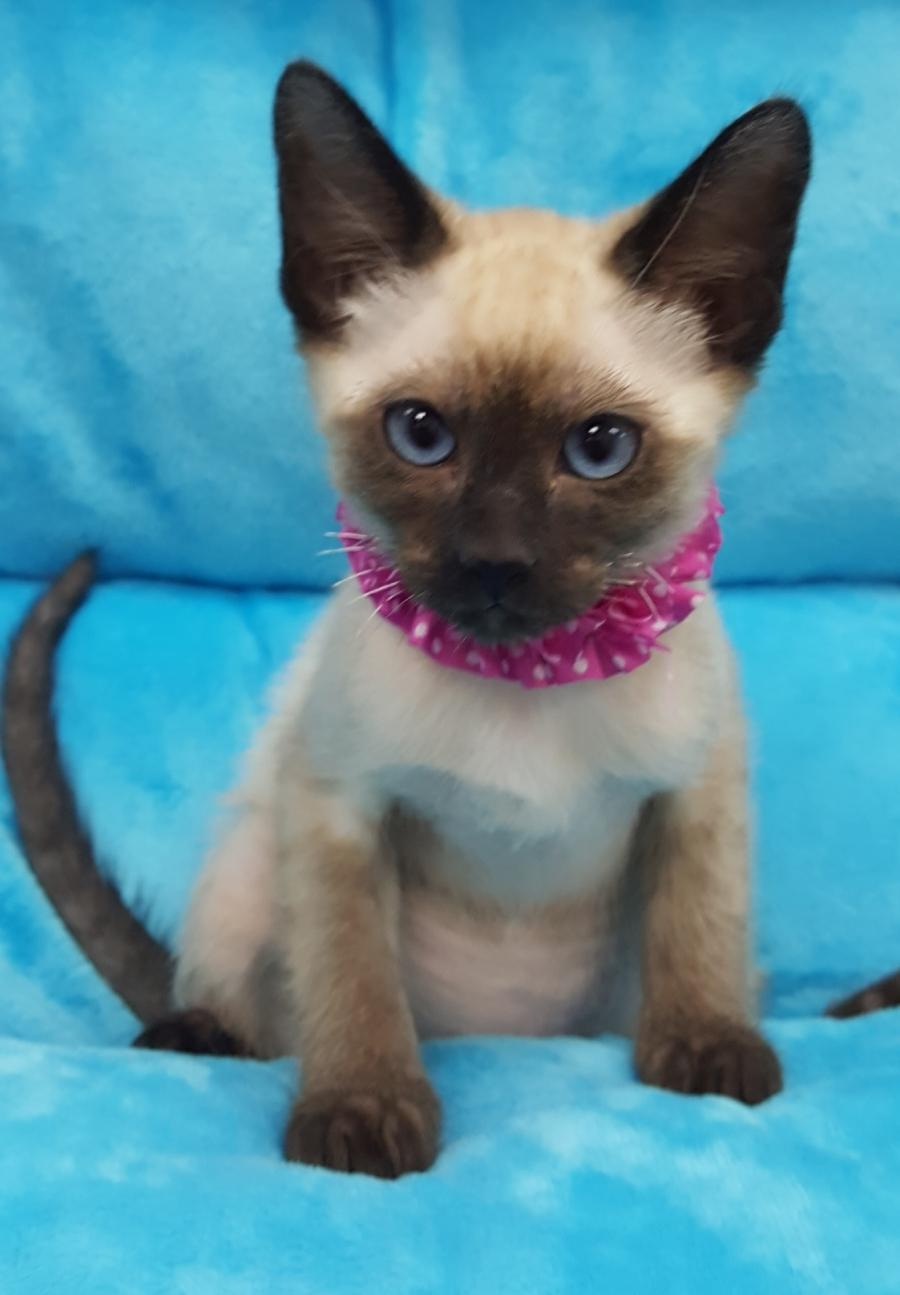 <small><del>Siamese Kitten</del></small><br />Happy Siamese Kitten