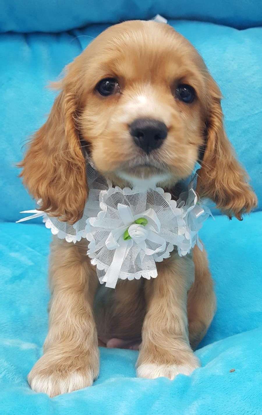 Cocker Spaniel - Your pet store in Newmarket