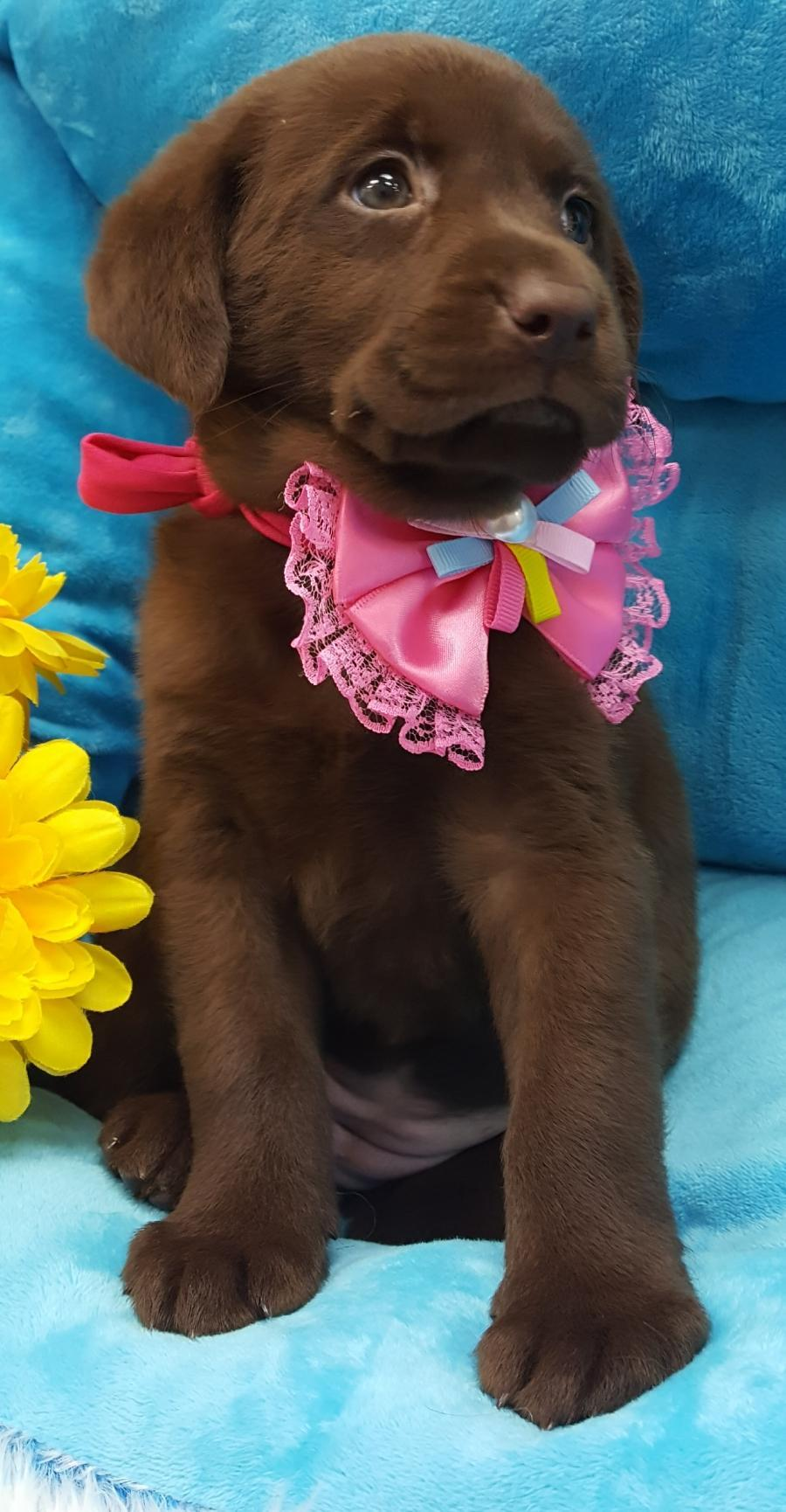 <small><del>Chocolate Labrador retriever</del></small><br />Happy Chocolate Labrador retriever