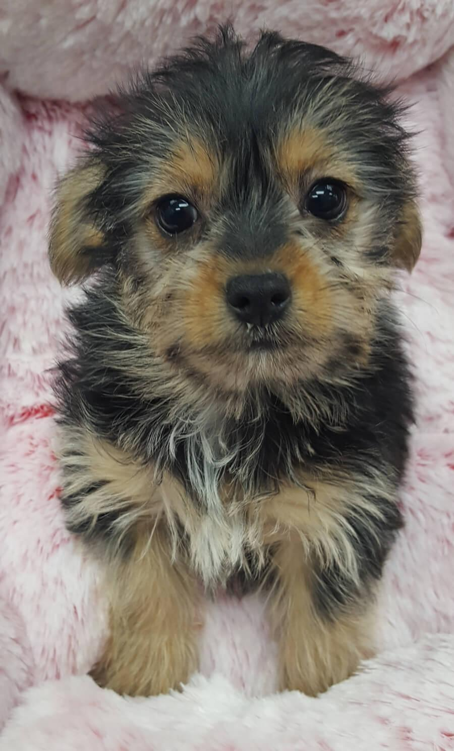 Yorkshire Terrier And Chihuahua Mix Your Pet Store In Newmarket