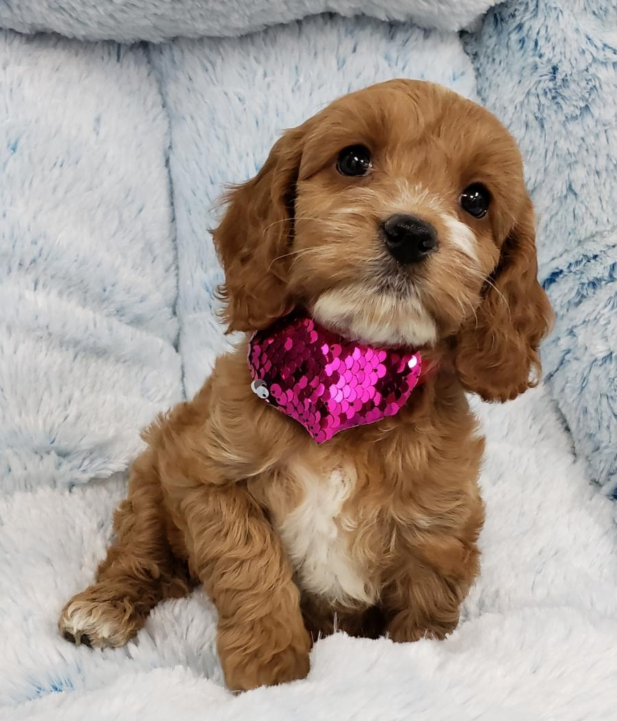 <small><del>Cockapoo</del></small><br />Happy Cockapoo
