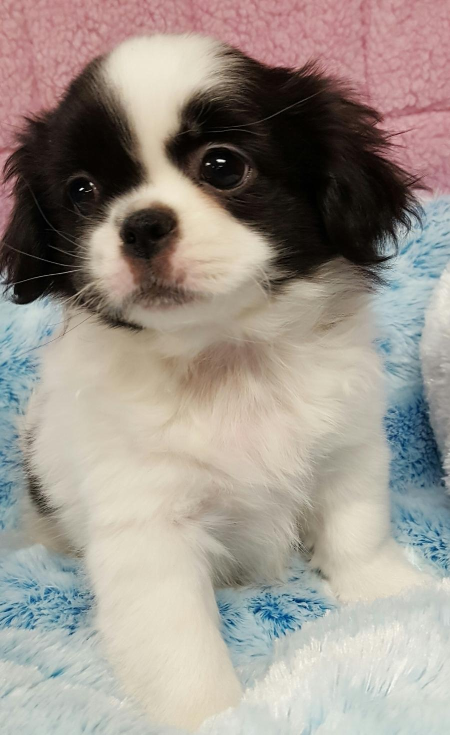 Shihtzu Japanese Chin Your Pet Store In Newmarket