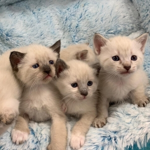 Siamese and Himalayan mix kittens