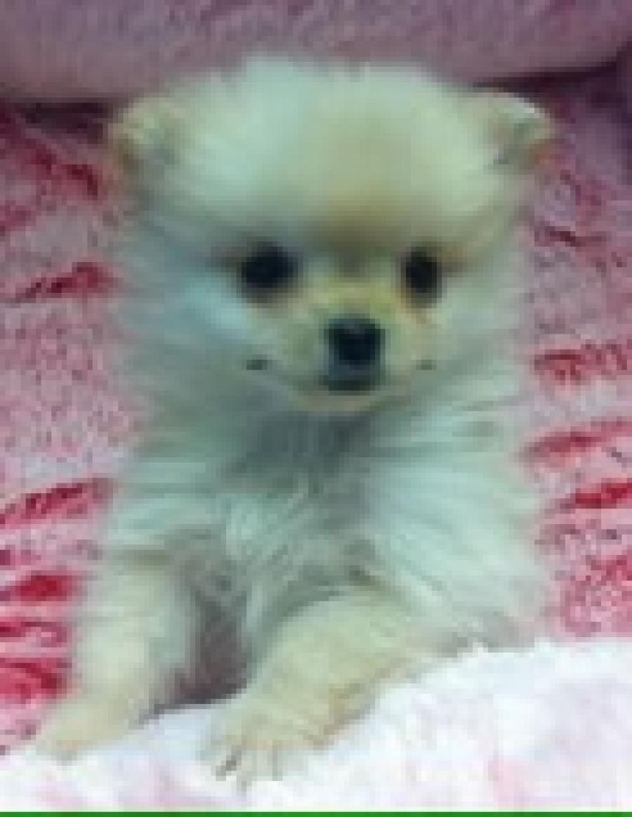 Teacup Pomeranian - Your pet store in Newmarket