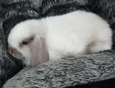 Mini Lop Rabbit
