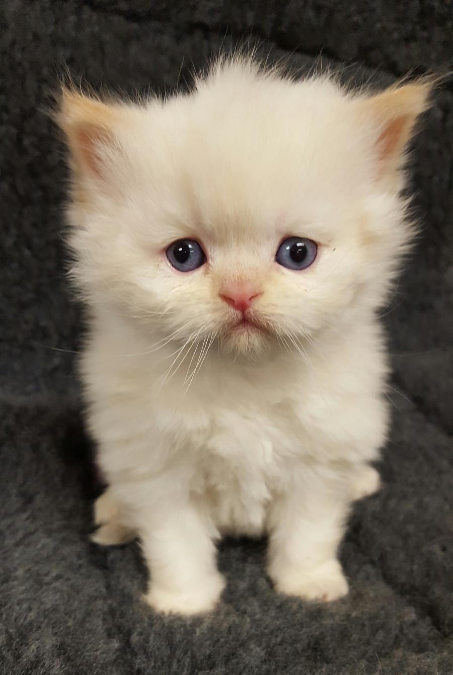 <small><del>Himalayan Kitten</del></small><br />Happy Himalayan Kitten