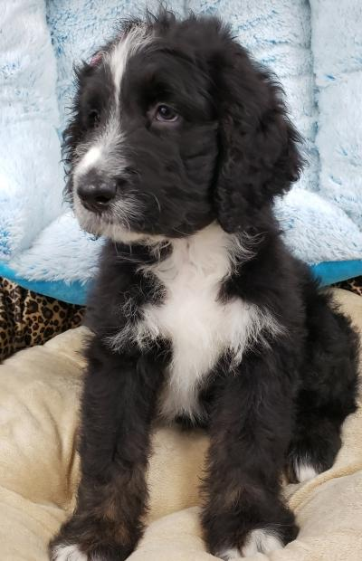 Bernedoodle ( Now $1499.00 )