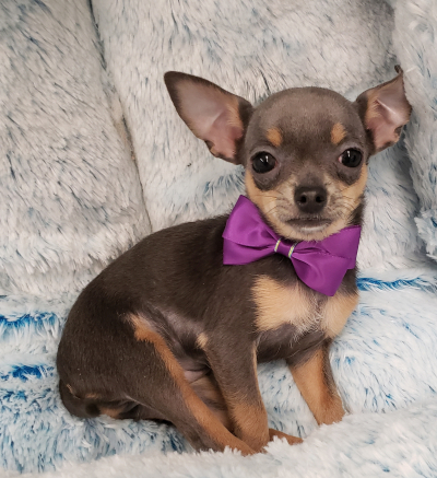 Teacup Chihuahua ( Now $1999.00)