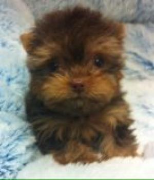 Teacup Chocolate Yorkshire Terrier