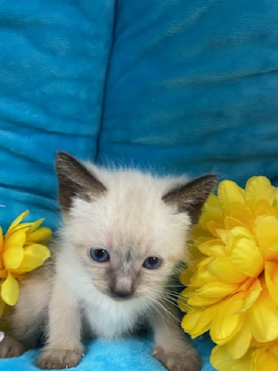 <small><del>Siamese and Himalayan mix Kitten</del></small><br />Happy Siamese and Himalayan mix Kitten