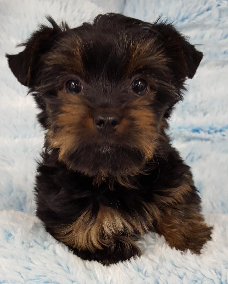 <small><del>Yorkshire Terrier</del></small><br />Happy Yorkshire Terrier