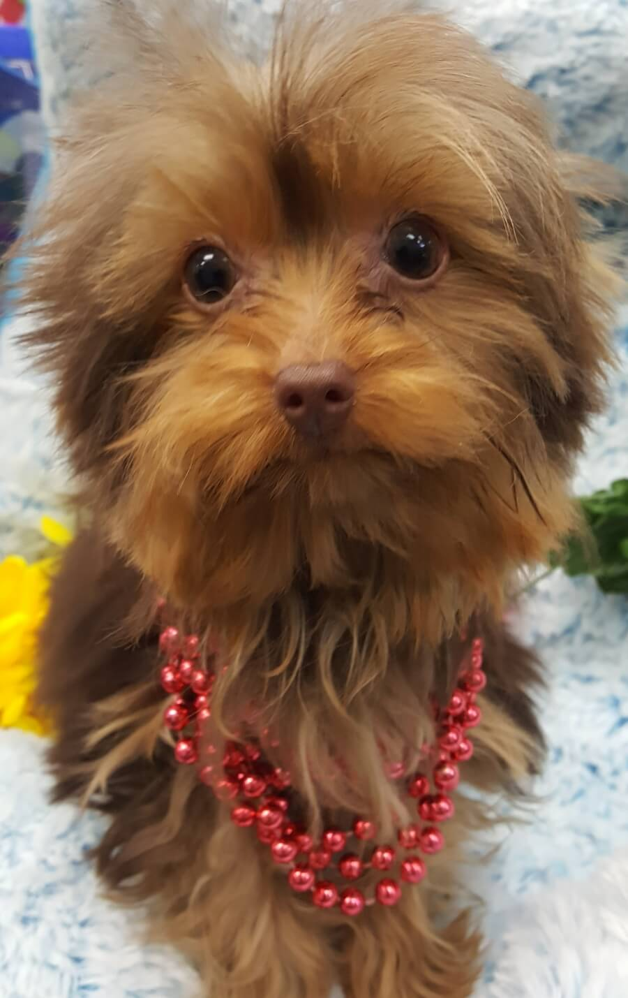 <small><del>Teacup Yorkshire Terrier</del></small><br />Happy Teacup Yorkshire Terrier