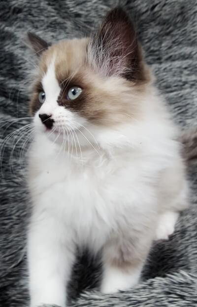 Himalayan mix kitten