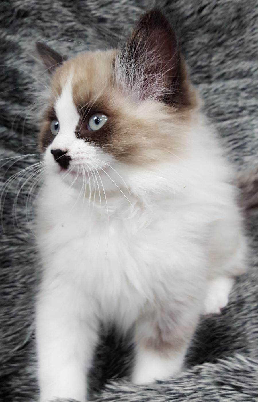<small><del>Himalayan mix kitten</del></small><br />Happy Himalayan mix kitten