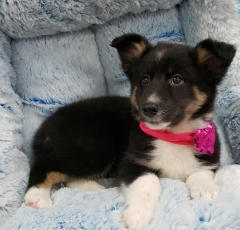 Australian Shepherd and Sheltie