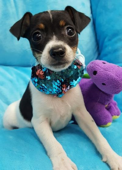 Toy fox Terrier (Now $1199.00)