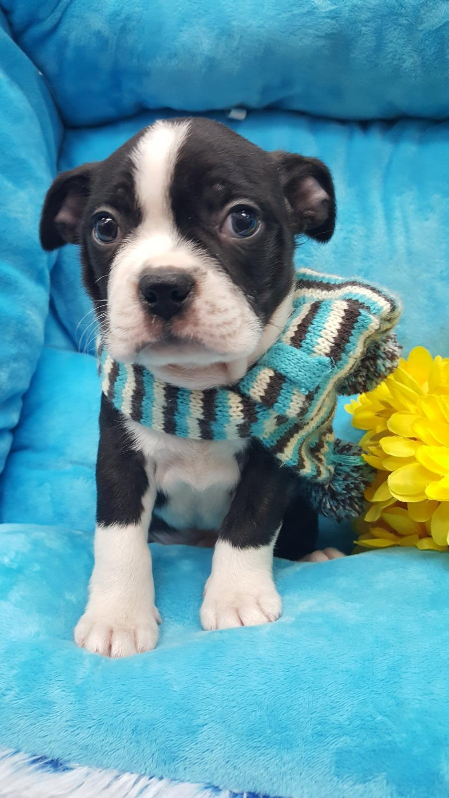 <small><del>Boston Terrier</del></small><br />Happy Boston Terrier