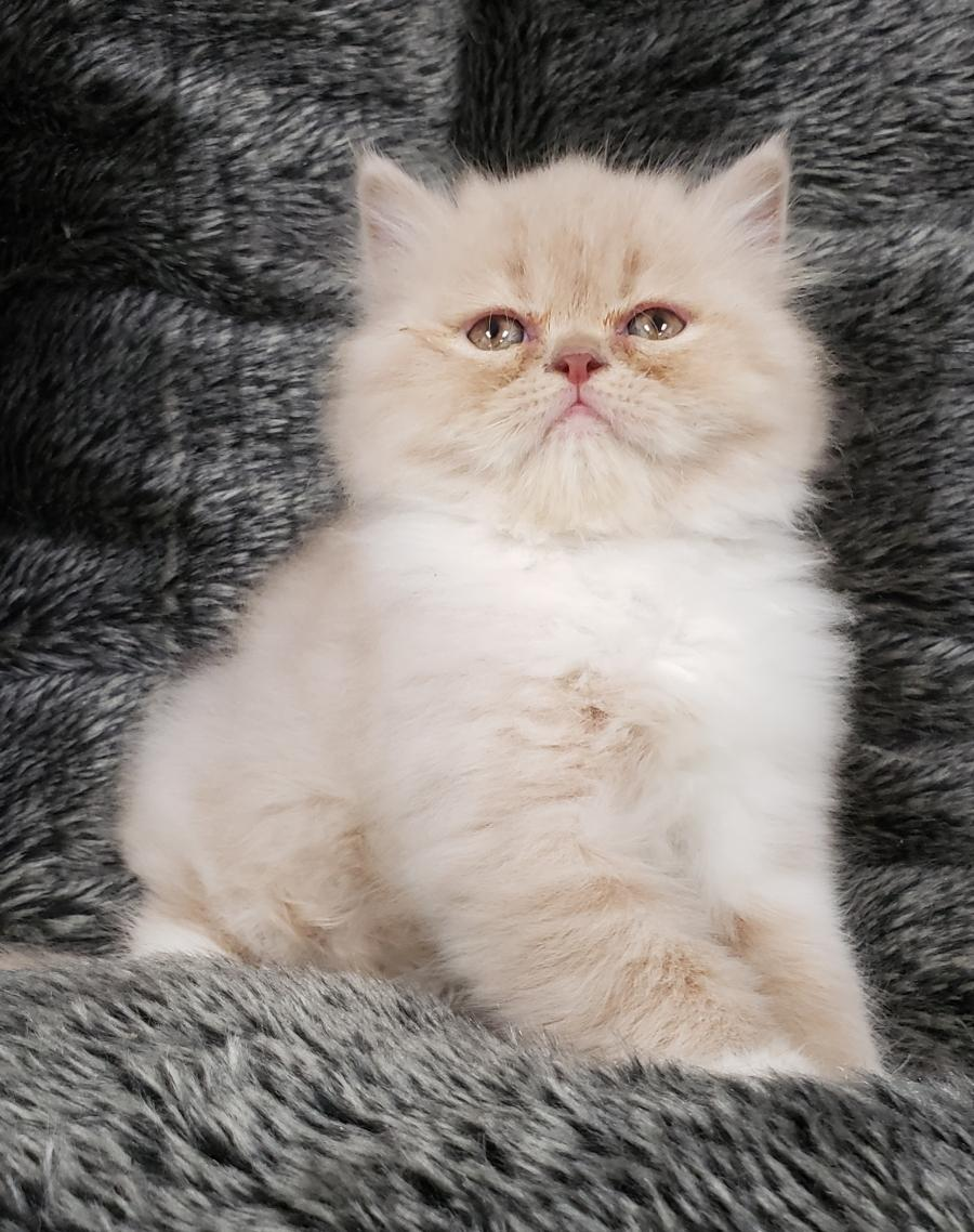 Persian Kitten - Your pet store in Newmarket