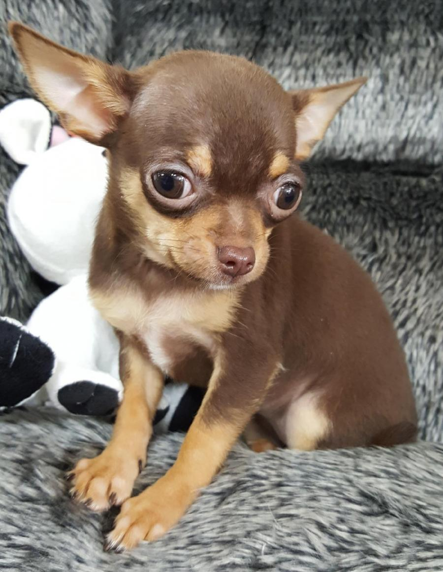 <small><del>Teacup Chihuahua</del></small><br />Happy Teacup Chihuahua