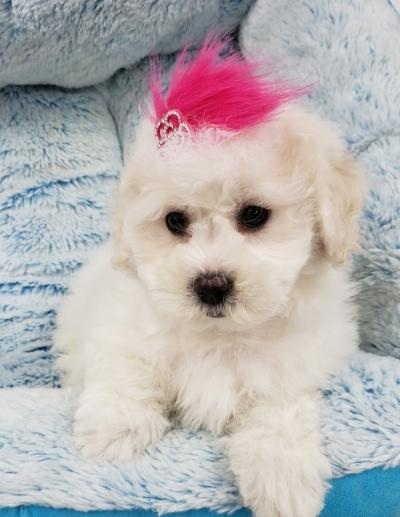 Shihpoo (Now $1399.00)