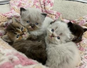 Persian Himalayan Kittens