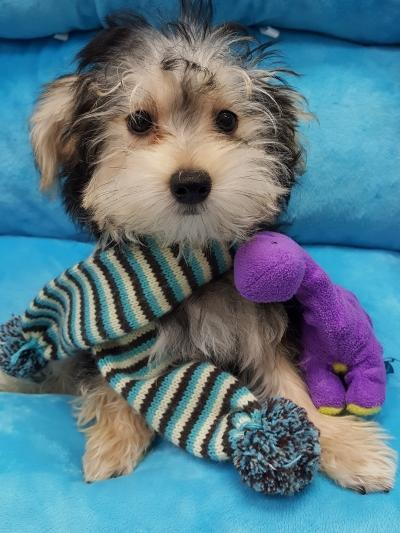 Morkie( (Now $1599.00)
