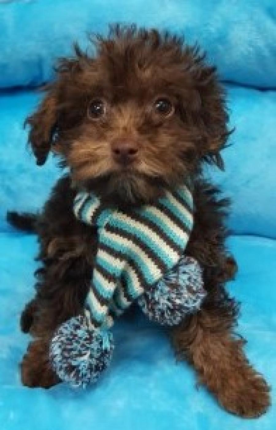Toy Poodle (Now $1199.00)