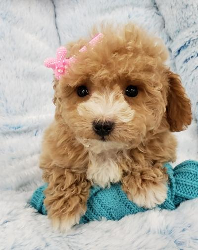 Puppies For Sale Your Pet Store In Newmarket