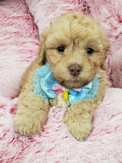 Puppies for Sale - Your pet store in Newmarket