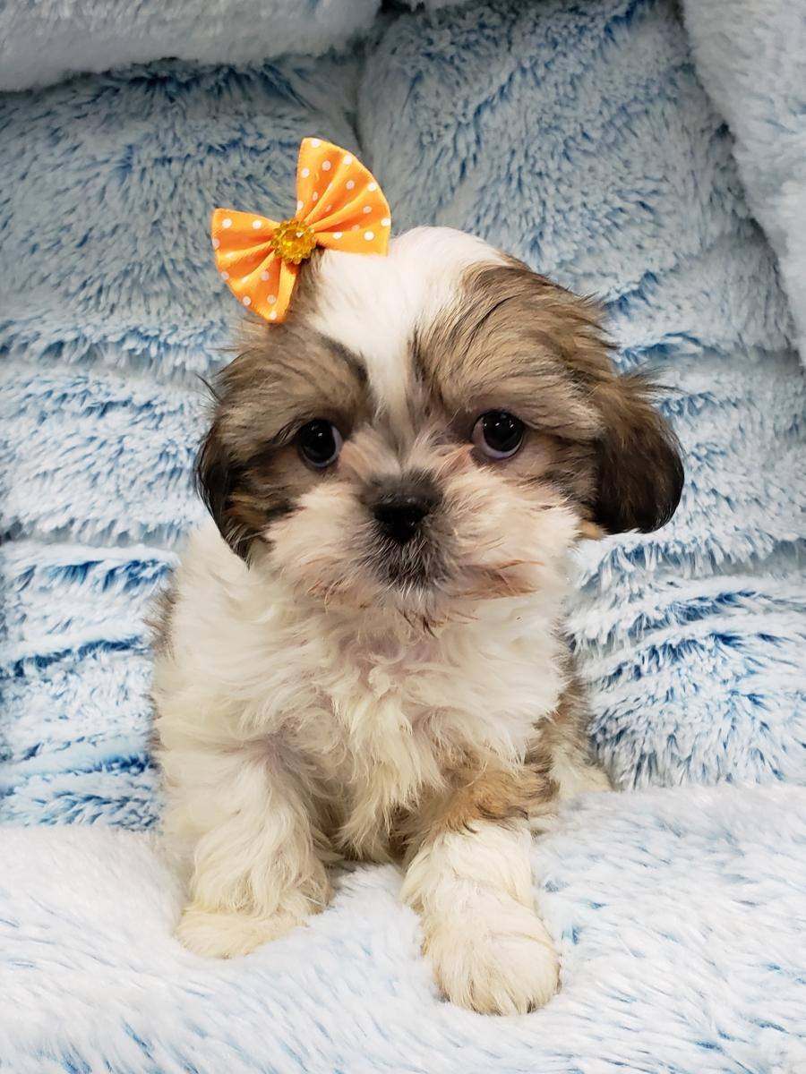 <small><del>Shih-tzu</del></small><br />Happy Shih-tzu